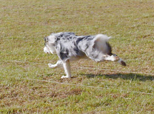 Figure 2. In this galloping dog, the dewclaw is in touch with the ground. If the dog then needs to turn to the right, the dewclaw digs into the ground to support the lower leg and prevent torque.