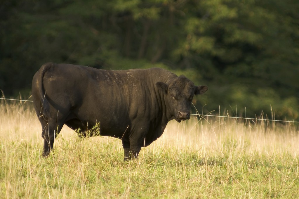 a big angus bull in pasture